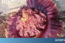 Bunga Bangkai Muncul di Tanah Lapang Hebohkan Warga Ciputat