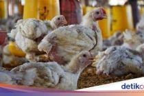 Oded Bagikan Anak Ayam Atasi Kecanduan Gadget, DPRD: Perlu Diuji