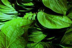 11 Manfaat Daun Sirih untuk Kesehatan Tubuh