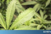 Polisi Tangkap 2 Pengedar Narkoba di Depok, Barbuk 18 Kg Ganja