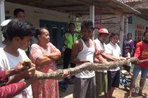 Terbawa Banjir, Ular Piton 4,5 Meter Ditangkap Warga Mojoagung Jombang