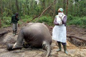 Lagi, Gajah Mati Ditemukan di Konsesi Perusahaan di Riau