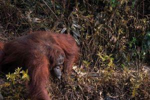 Orangutan Tertangkap Kamera Hendak Menolong Pria dari Air