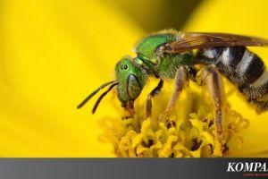 Ilmuwan Ungkap Populasi Lebah di Eropa Turun Drastis, Apa Penyebabnya?