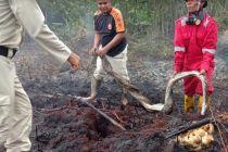 Induk Ular Piton Mati saat Lindungi Anak dan Telurnya di Lokasi Karhutla