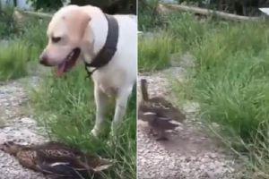 Video Viral Bebek Pura-pura Mati di Depan Anjing