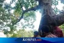 Kades di Flores Timur 2 Jam di Atas Pohon Cari Sinyal demi Rapat Virtual dengan Bupati