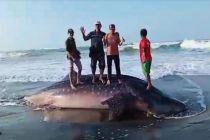 Hiu Tutul Mati Terdampar di Pantai, Warga Ramai-Ramai Potong Dagingnya