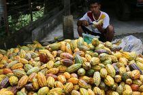 Antisipasi Perubahan Iklim Terhadap Produktivitas Kakao