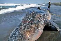 Terbawa Air Laut, Hiu Tutul Terdampar di Pantai Paseban