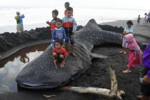 Foto-Foto Hiu Paus 9 Meter Seberat 2 Ton Mati Terdampar di Jember