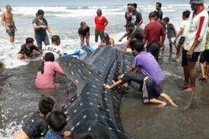 Kasihan, Hiu Tutul Terdampar di Pantai Pekutatan Bali Akhirnya Mati