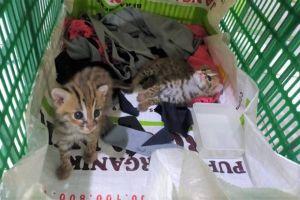 Warga Mojokerto Temukan Dua Anak Kucing Kuwuk Langka